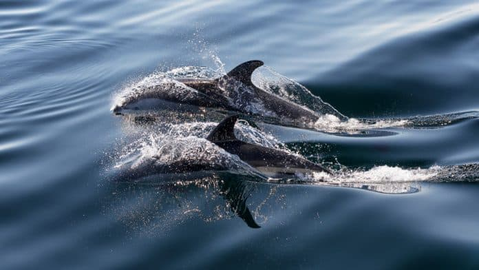 Two dolphins with wide sides swimming through the sea