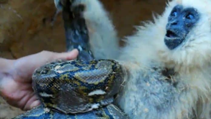 Monkey looks extremely scared as a snake attacks him