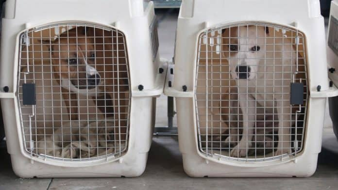 A white dog in a crate and a brown dog in a separate crate
