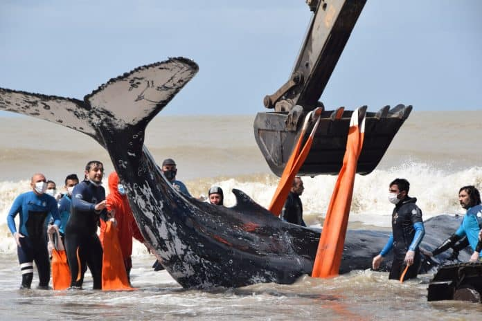 Whale in orange ropes from a machine to lieft him to sea