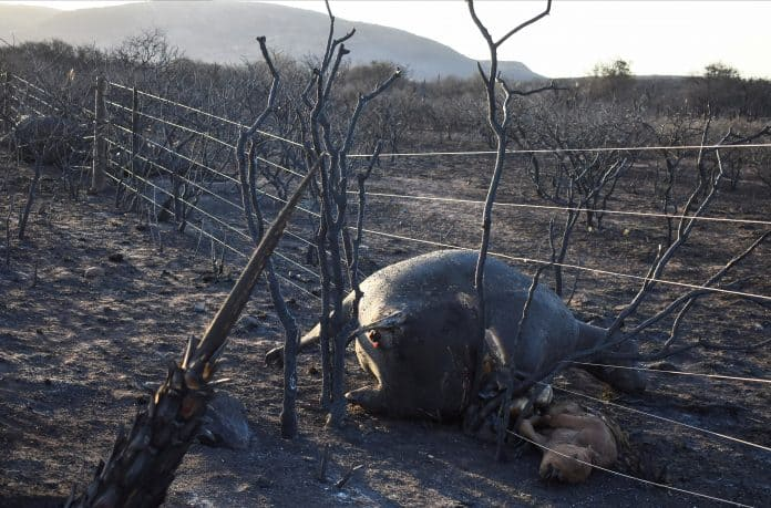 Burnt cow lied in wires with her calf next to her, it looks like they tired to escape