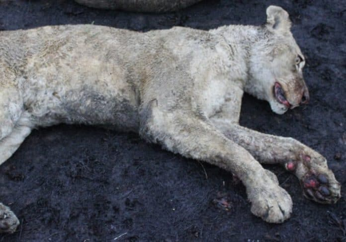 Lion looks dead with black burn spots and red paws
