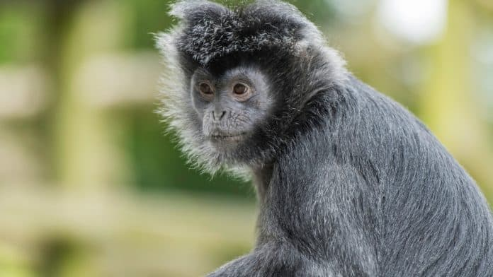 A small grey ape with long hair on his head