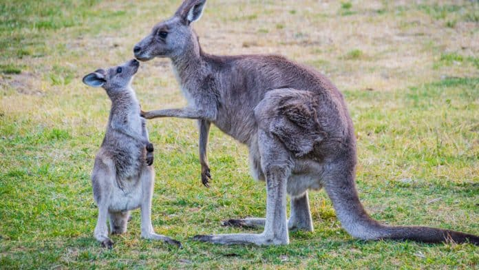 Kangaroos facing each other