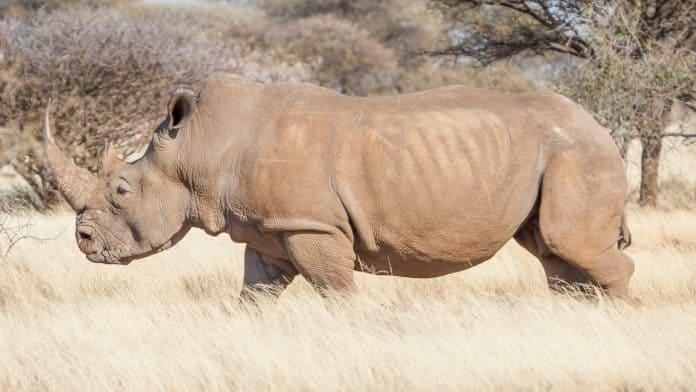 Side profiel og a huge brown grey coloured rhino standing in grass