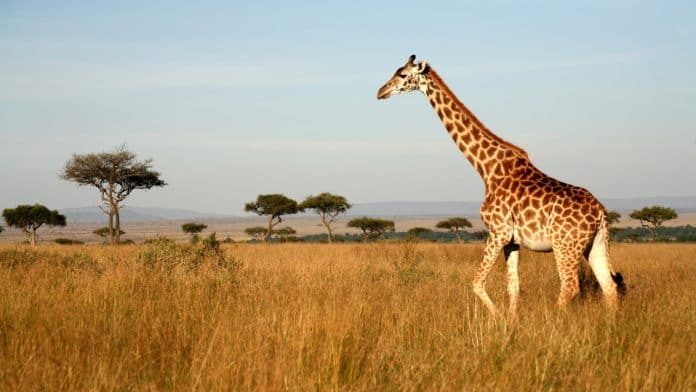 Side profile of a giraffe with some trees on the background