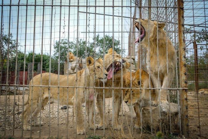 Four lions against a fence